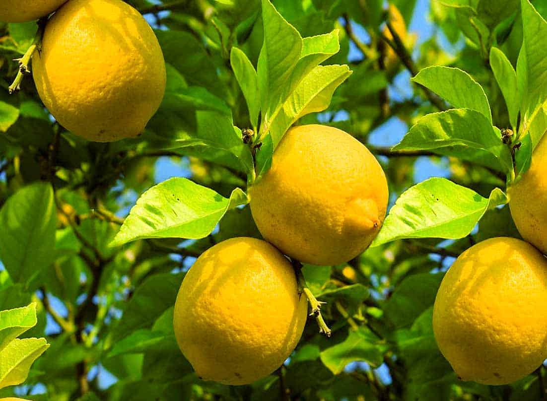 LEMON (Citrus limon) essential oil